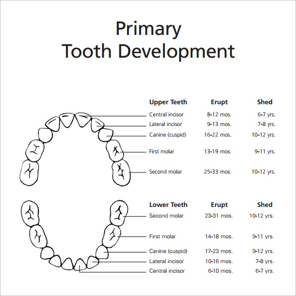 graphic regarding Baby Teeth Chart Printable named Pattern Youngster Tooth Chart - 5+ Data files within PDF