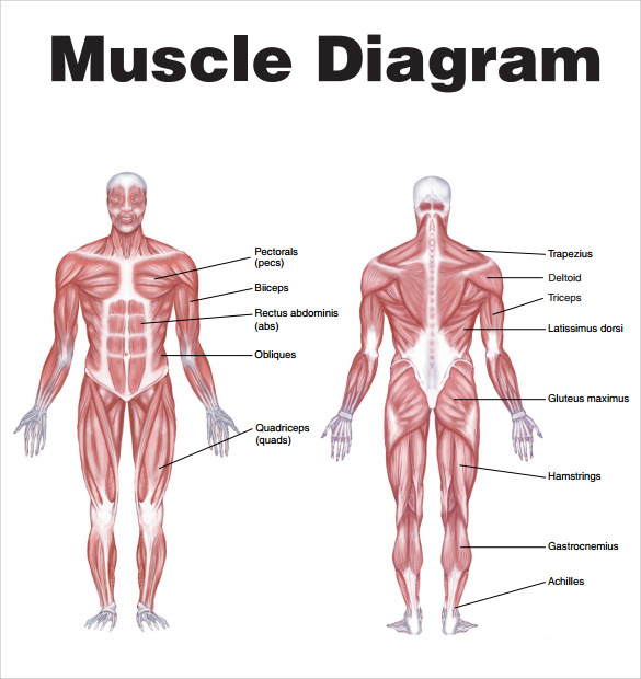 Sample Muscle Chart 7 Free Documents in PDF – Muscle Chart Template