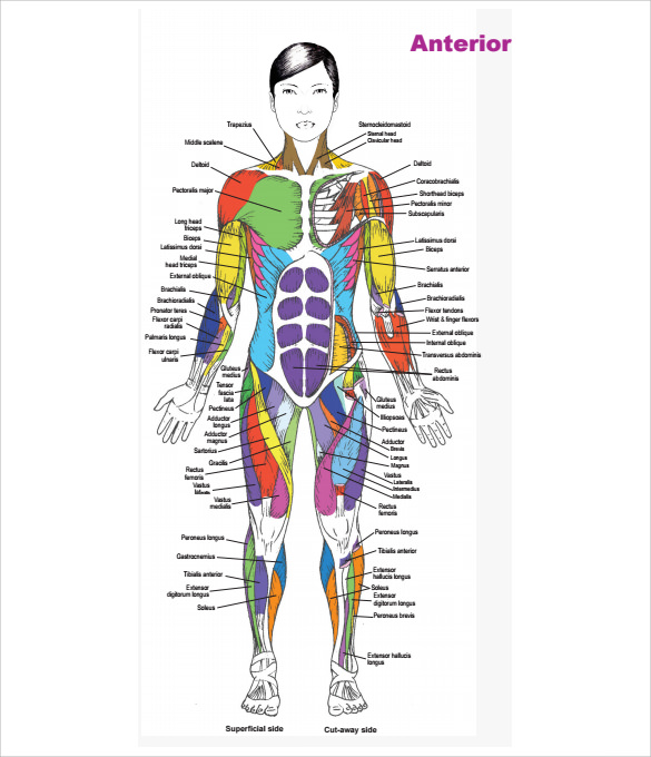 sample muscle chart - 7+ free documents in pdf, Muscles