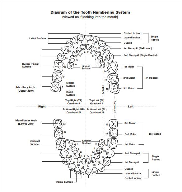 sample teeth chart template