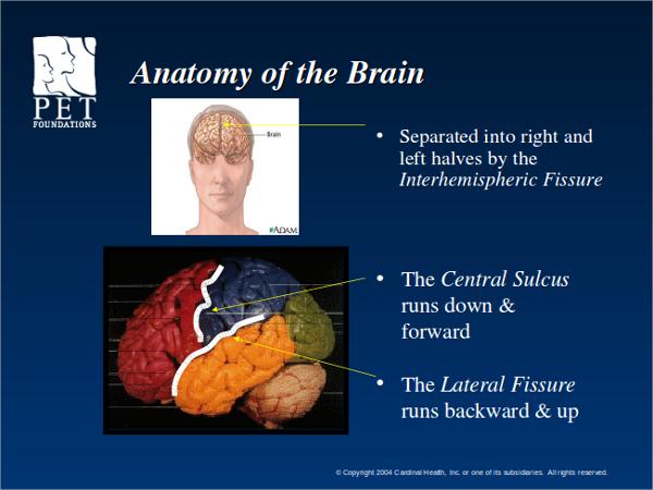 brain anatomy powerpoint template